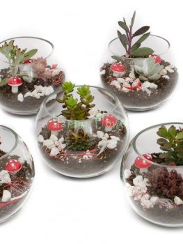 Terarii plante suculente Happy Flower