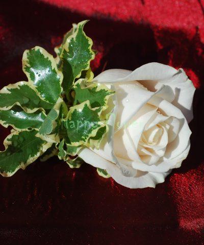 Cocarda trandafir ivoire si pittosporum