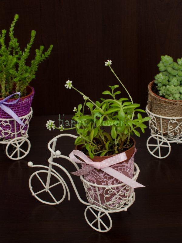 Marturii triciclete plante suculente
