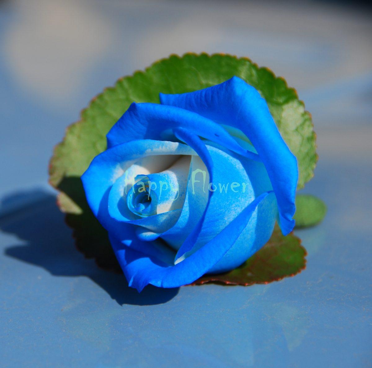 Cocarda trandafir albastru